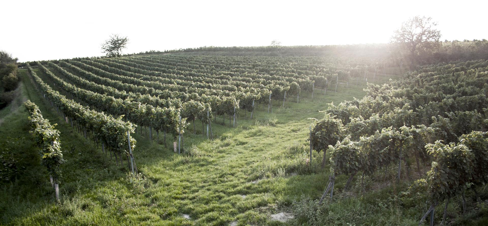 Winery field